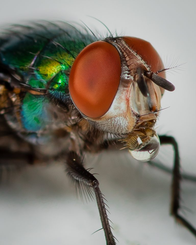 Macro image of Fly with water droplet on mouth parts